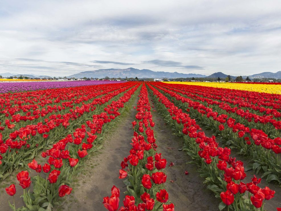 Skagit Valley Tulips on April 4, 2016.